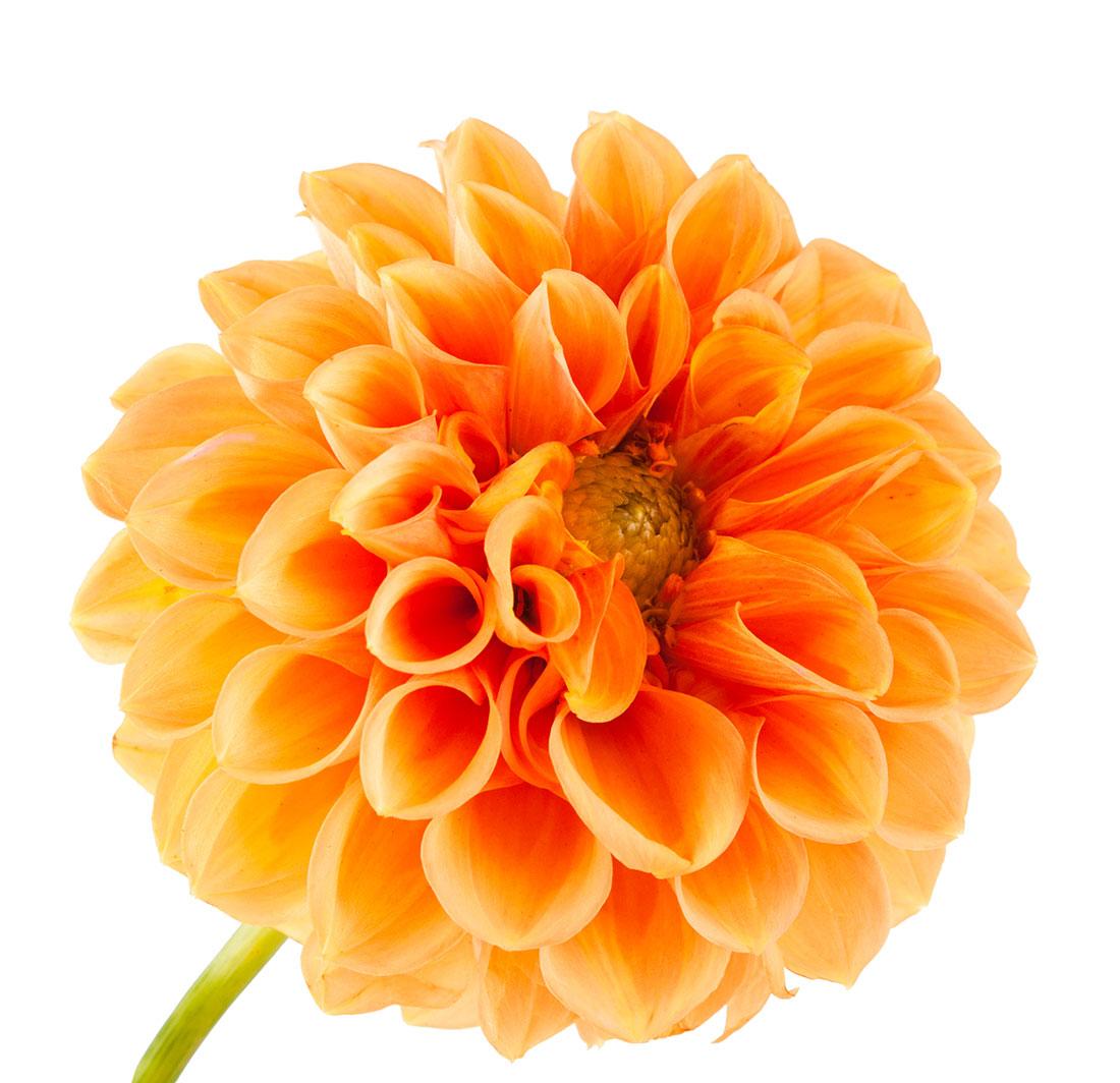 Dahlia Orange Jacksonville Flower Market